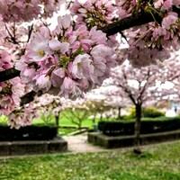 Des cerisiers en fleur à Vancouver.