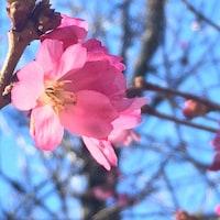 Les premières fleurs de cerisier à Vancouver.