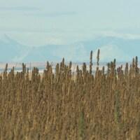 De longues pousses se trouvent en avant-plan et des silhouettes de montagnes en arrière-plan.