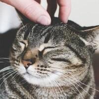 Un chat se fait caresser sur le dessus de la tête.