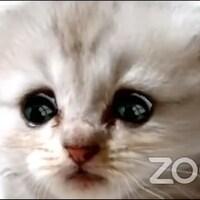 Un chaton avec les yeux tristes sur le logiciel de visioconférence Zoom.