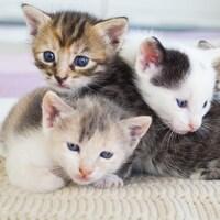 Quatre jeunes chatons tachetés se serrent les uns contre les autres sur une couverture.