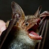 La tête d'une chauve-souris en gros plan. On peut voir ses dents, sa langue, ses yeux et ses oreilles.