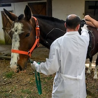 Researchers of the Genetics Veterinary Institute (IGEVET) make tests to a polo horse at La Plata University in La Plata, Argentina, on November 06, 2108. - Researchers in Argentina seek to identify the genome of the Argentine polo horse, considered as the best in the world. (Photo by EITAN ABRAMOVICH / AFP)        (Photo credit should read EITAN ABRAMOVICH/AFP/Getty Images)