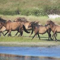 Un groupe de chevaux sauvages de l'île de Sable galope près d'un cours d'eau.
