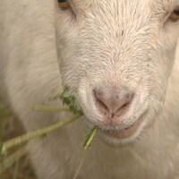 Gros plan d'une chèvre qui broute de l'herbe.