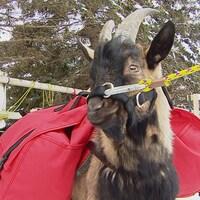 Une chèvre nommée Billy porte deux sacs rouges.