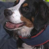 Un chien bouvier bernois avec un bandeau.