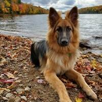 Un chien berger Allemand à poils longs sur le bord d'un lac.