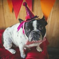 Un bouledogue français avec un chapeau de fête.