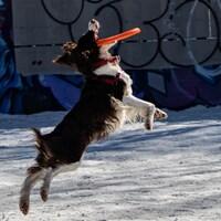 Un chien sans laisse attrape un Frisbee.