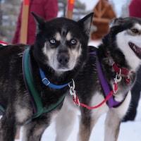 Deux chiens sont attachés à un traîneau.