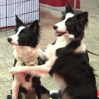 Deux chiens noirs et blanc