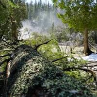Une arbre déraciné repose sur le sol, près des chutes Neigette.