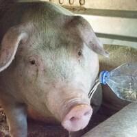 Un activiste verse une bouteille d'eau à un cochon dans le camion.