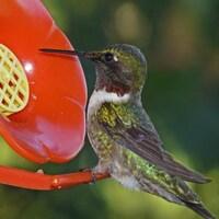 Le colibri à gorge rubis prend de la nourriture dans une mangeoire.
