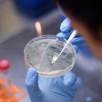 Un gros plan sur un échantillon de bactérie manipulé par un chercheur dans un laboratoire.