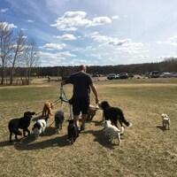 Un homme promène une dizaine de chiens en laisse dans un parc d'Edmonton.