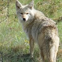 À gauche, une image du ver. À droite, un coyote.
