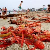 Des crabes rouges échoués sur une plage en Californie.