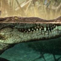Illustration montrant un crocodile à la surface de l'eau avec un papillon sur le nez.