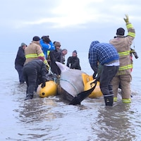 Un dauphin pilote est entouré d'une dizaine de personne qui tentent de le remorquer au large.