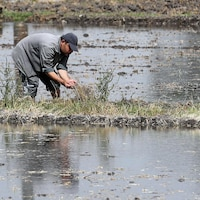 En Égypte, un agriculteur plante du riz, une ressource qui demande beaucoup d'eau.
