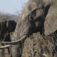Un éléphant  en Afrique du Sud