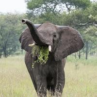 Un éléphant mange de l'herbe.