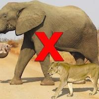 Nous voyons un éléphant avec un lionceau dans sa trompe. Une lionne marche avec l'éléphant.