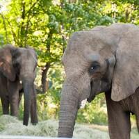 Répondant au doux nom de Thandi, le grand mammifère de 28 ans est arrivé du Zoo de Pittsburgh par voie terrestre.