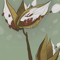 Illustration d'un plant d'asclépiade
