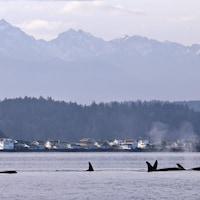 Des orques en voie de disparition nagent à Puget Sound, dans l'État de Washington.
