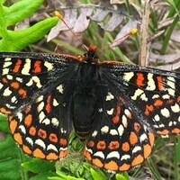 Un papilon noir aux points oranges et blancs