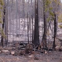 La forêt après un incendie.