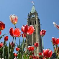 La photo présente des tulipes rouges en avant-plan et la tour du Parlement d'Ottawa en arrière-plan.