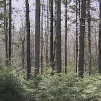 Une forêt de pins dans le district de Clare, en Nouvelle-Écosse.