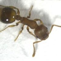 Gros plan sur une fourmi Temnothorax nylanderi.