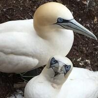Couple de fous de bassan. L'incubation de l'oeuf dure 44 jours. Elle est suivie d'une période de nourrissage de 91 jours