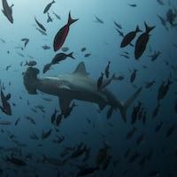 Un requin-marteau nage près de l'île Wolf dans la réserve marine des Galápagos.