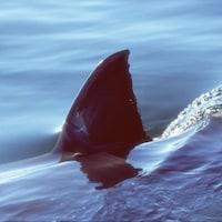 La nageoire dorsale d'un requin fend la surface de l'eau.