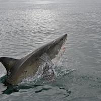 Un grand requin blanc.