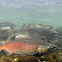 Gros plan sur un saumon gris avec une grande tâche rose-orange sur lui. On voit d'autres poissons derrière lui.