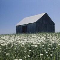 Vieille grange au milieu d'un champ de marguerites en été.