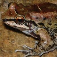 Une grenouille Thoropa taophora.