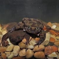 Les deux grenouilles photographiées dans leur aquarium commun.