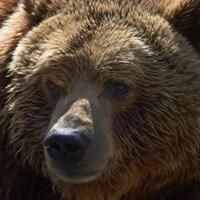 Gros plan sur un grizzly.