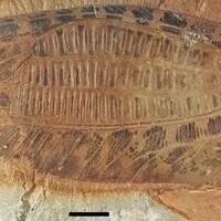 Une aile fossilisée.