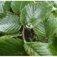 Les feuilles d'une plante recouvertes d'excréments d'insectes.