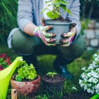 Un jardinier accroupi dans un jardin tient une plante en pot dans ses mains.